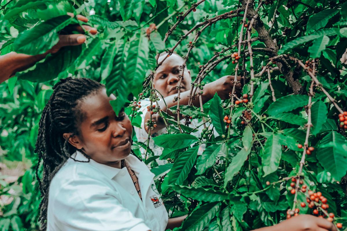 Uganda malaria