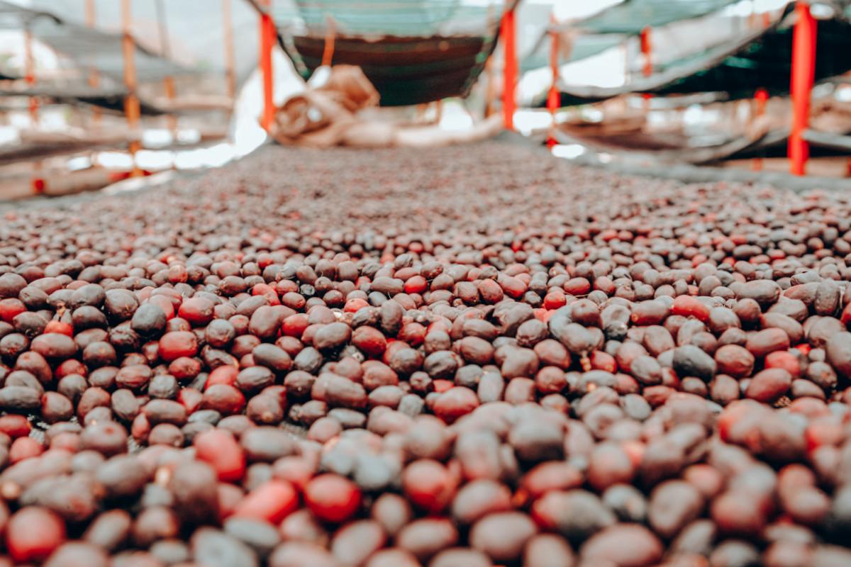 Beneficio Las Segovias - Cherries on drying beds at Beneficio Las Segovias